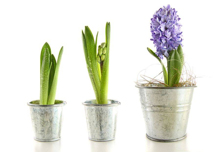 Гиацинт в горшке: выращивание и уход в домашних условиях