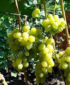 Виноград лора: описание сорта, фото, характеристика, отзывы
