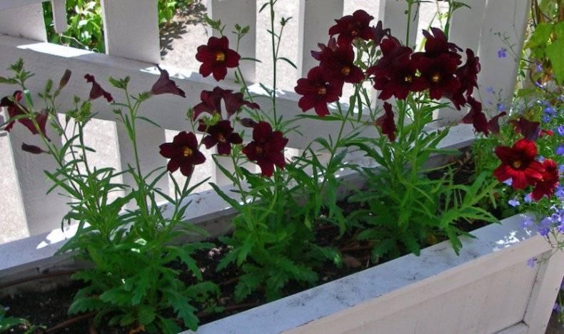Выращивание сальпиглоссиса из семян: виды растения, посадка и уход, фото цветка