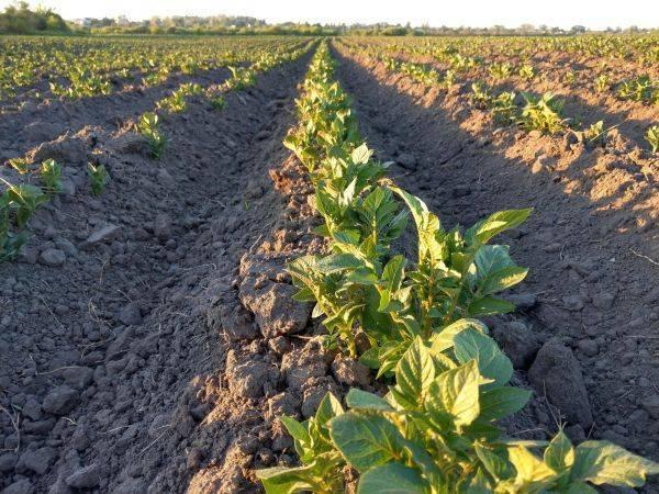 Через сколько дней всходит картофель после посадки – как долго и время всходов картошки