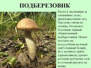 Подберезовик (обабок) – описание, виды, фото