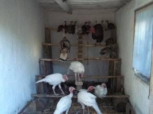Как построить птичник для индюков в частном подворье?