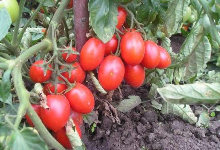 Томат рома – характеристика и описание сорта, фото, урожайность, отзывы огородников
