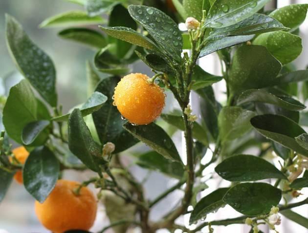 Апельсиновое дерево в домашних условиях: выращивание из косточки, особенности ухода, оптимальная среда + лучшие сорта