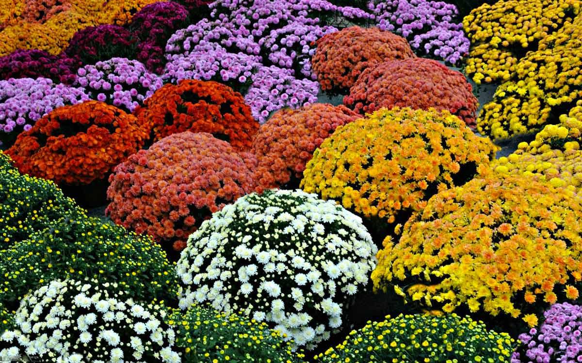 Как сохранить не выкапывая хризантемы зимой не выкапывая. какие сорта хризантем обязательно надо выкапывать на зиму и как сохранить их до весны.