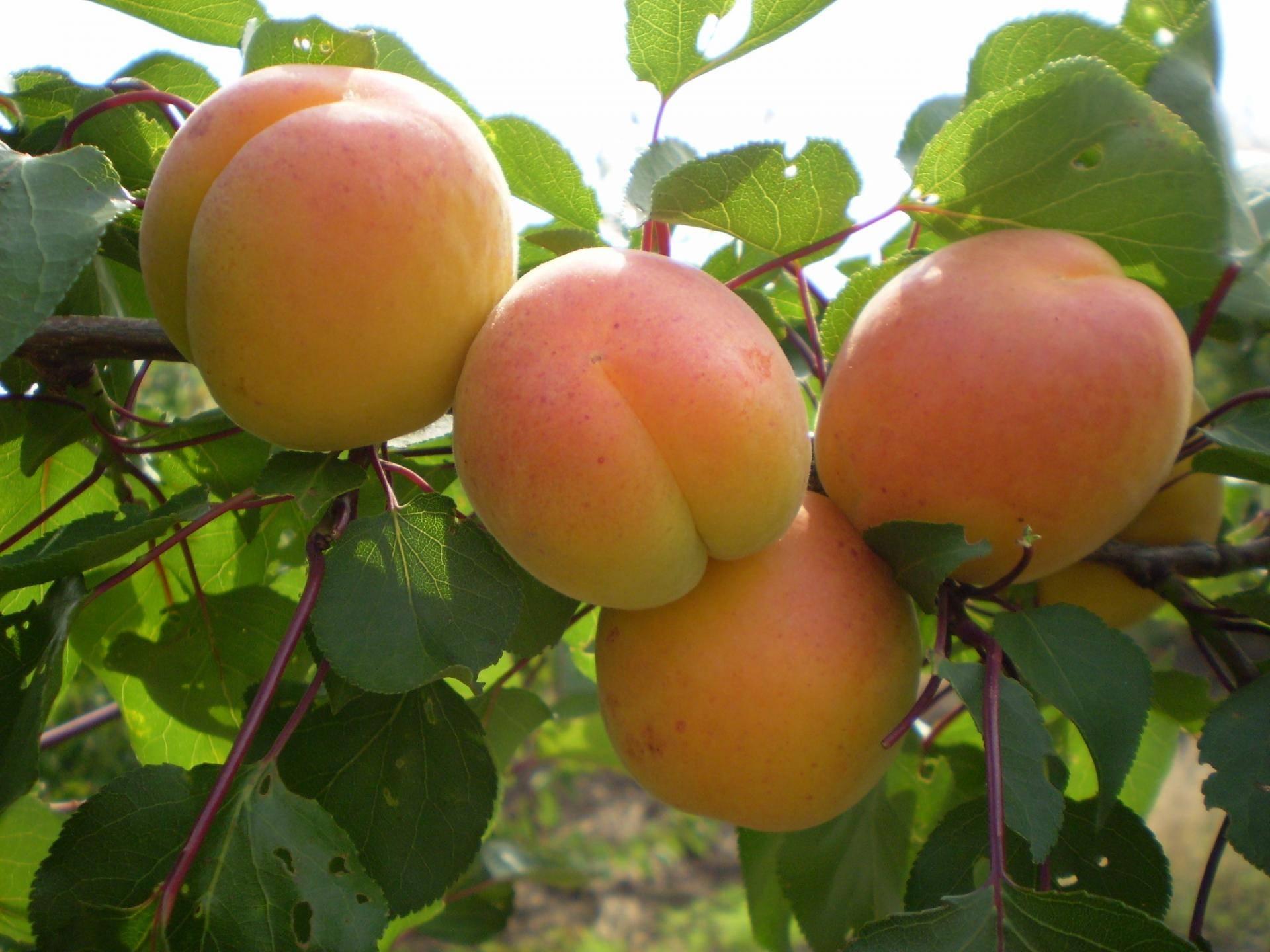 Характеристика абрикоса персиковый