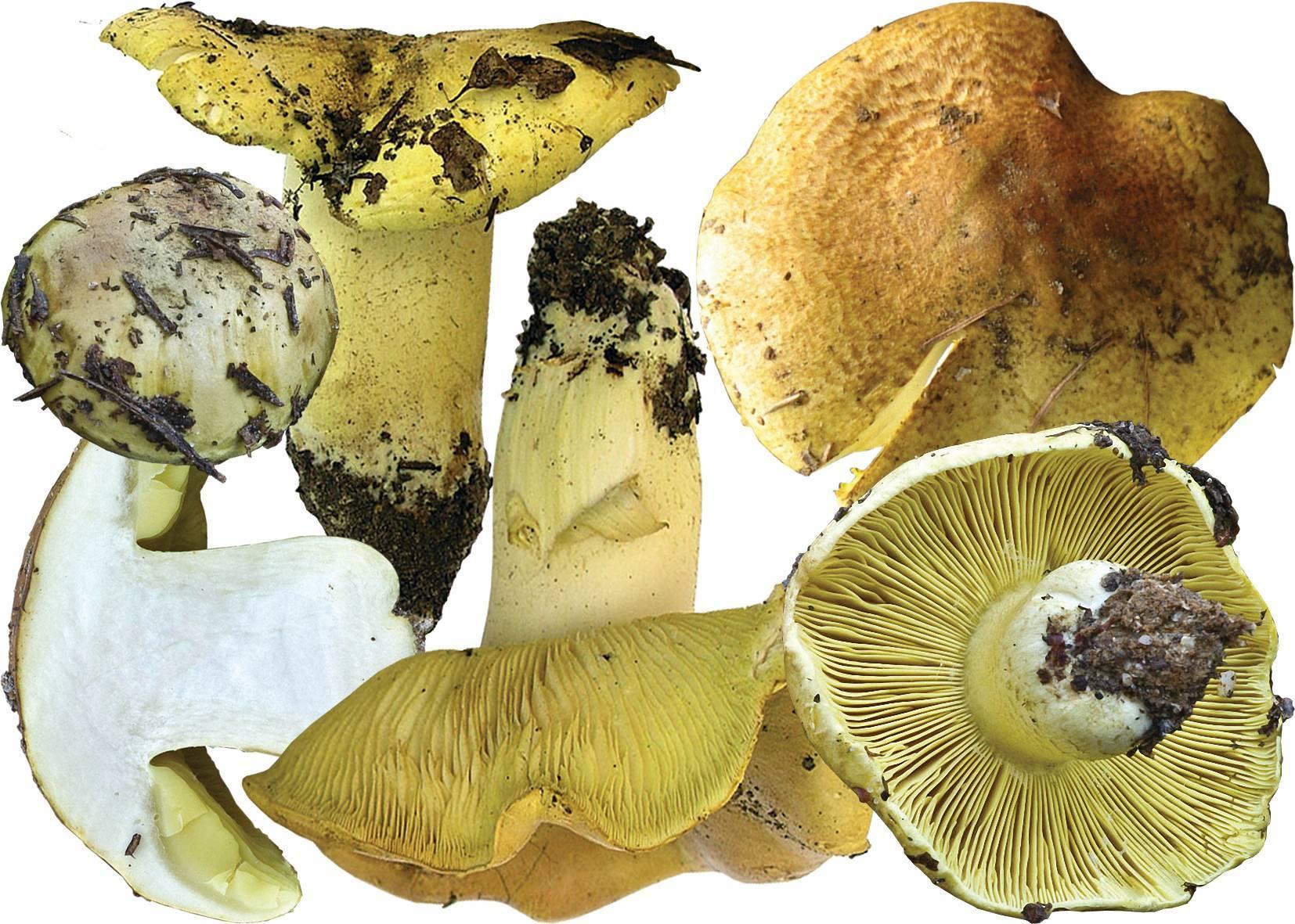 Характеристика гриба зеленушки