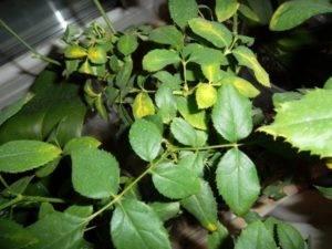 Почему у розы желтеют листья: причины у садовых и комнатных