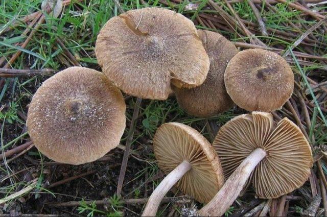 Особенности гриба волоконница земляная