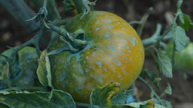 Медный купорос от фитофторы: защищаем картофель и томаты