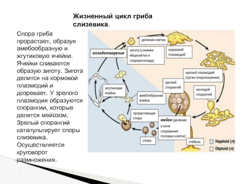 Ликогала древесинная (lycogala epidendrum) или гриб волчье молоко: фото, описание, размножение и роль гриба в лечении человека
