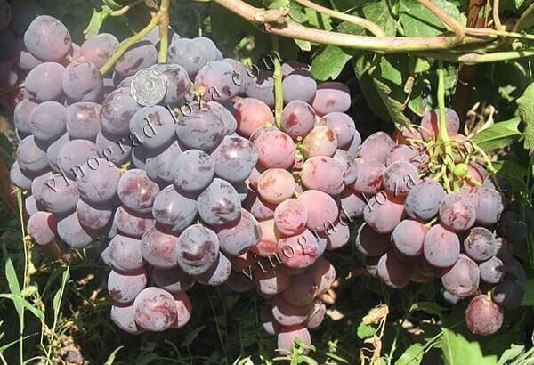 Кардинал (виноград)