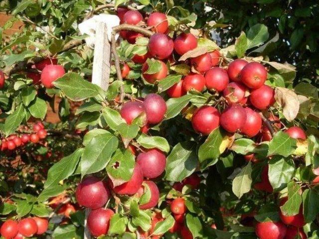 Яблоня китайка — один из самых необычных сортов