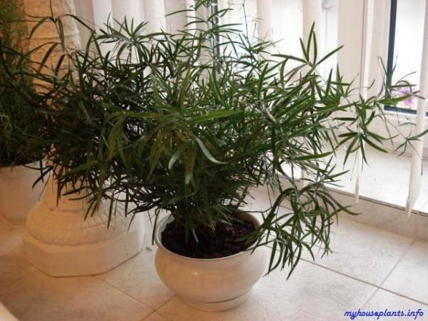 Аспарагус перистый: уход в домашних условиях за растением с пышной ажурной листвой + фото