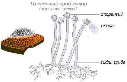 Гриб пеницилл: строение плесневых, сравнение с мукором, тип питания, фото