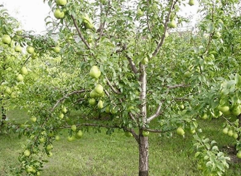 Описание сорта груши гера — особенности ухода за деревом