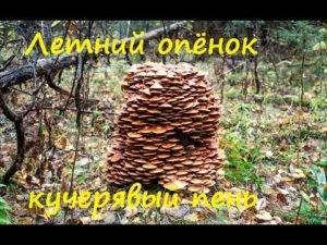 Тонкости сбора опят: где и когда следует искать эти маленькие грибы. время и условия роста грибов опят в лесу