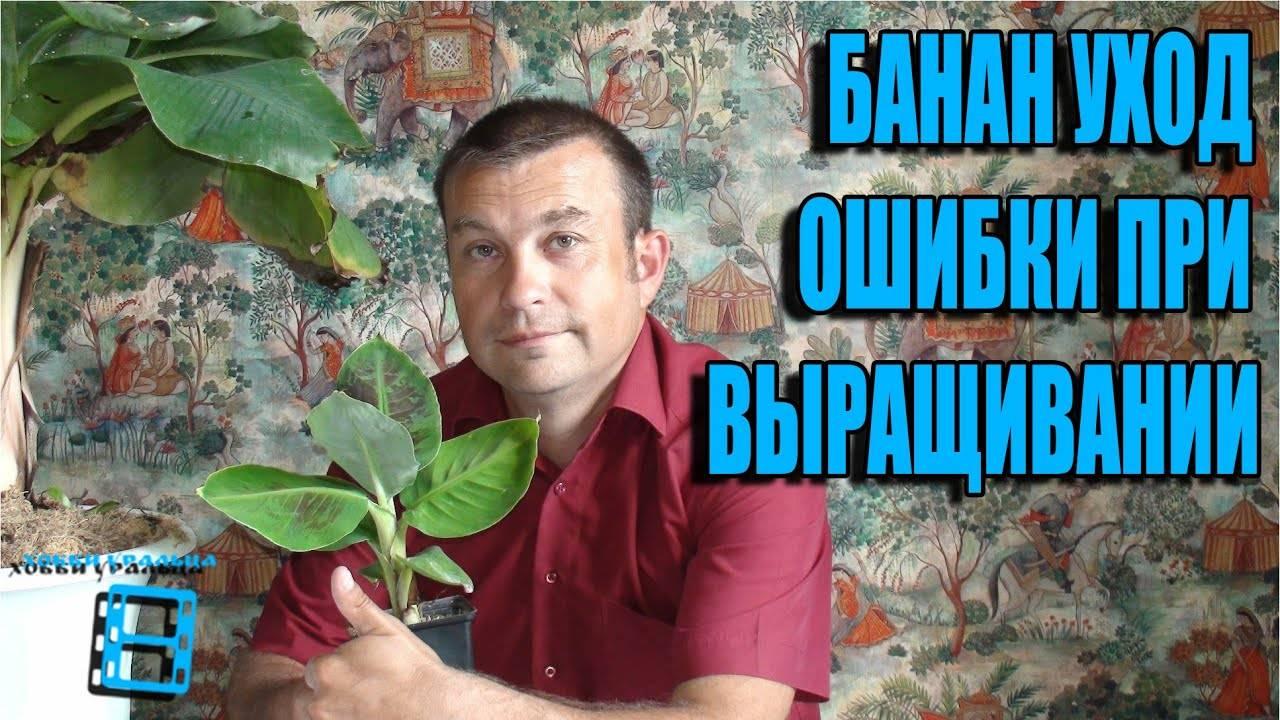 Как посадить и вырастить банан в домашних условиях? - огород, сад, балкон - медиаплатформа миртесен