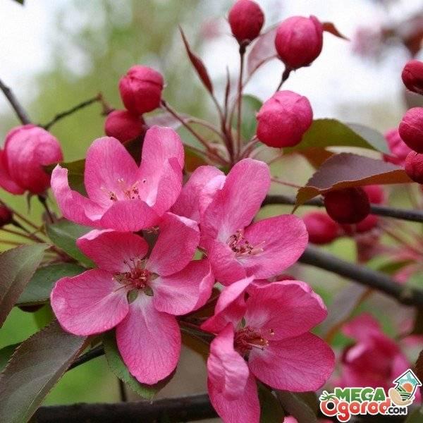 Яблоки с красной мякотью: сорта яблонь с розовыми прожилками внутри плодов