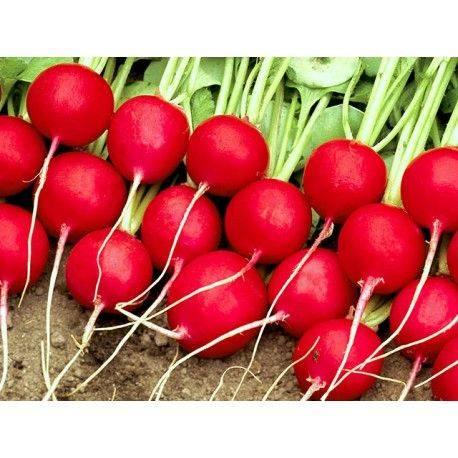 Редис селеста f1 - описание, отзывы, выращивание