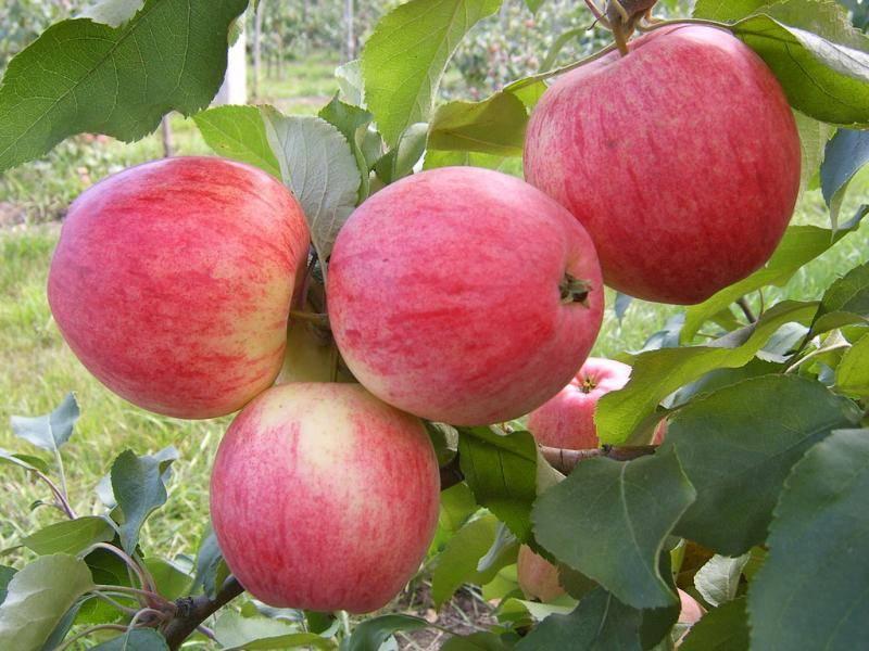 Яблоня заветное