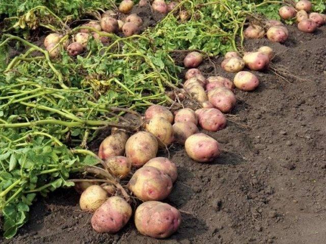 Лучшие ранние сорта картофеля: «орхидея», «леди клер», «ассоль» и другие