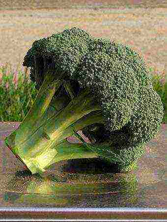Топ-10 лучших сортов капусты брокколи для различных регионов страны. особенности выращивания брокколи в подмосковье, сибири и на урале