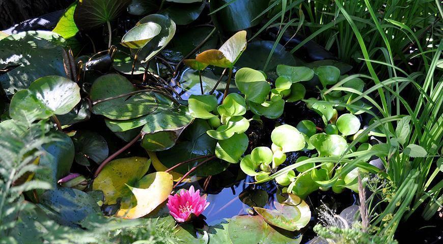 Водный гиацинт эйхорния: посадка и уход