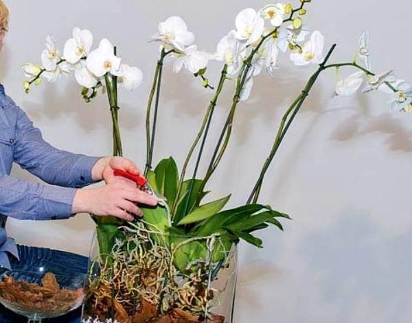 Подробная схема строения орхидеи фаленопсис