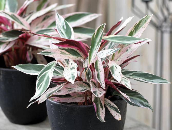 """Пестролистные комнатные растения и изменение их окраски - проект """"цветочки"""" - для цветоводов начинающих и профессионалов"""