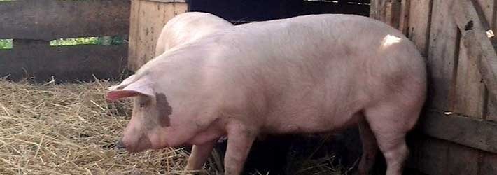 Сонник свинья. к чему снится свинья во сне женщине и мужчине