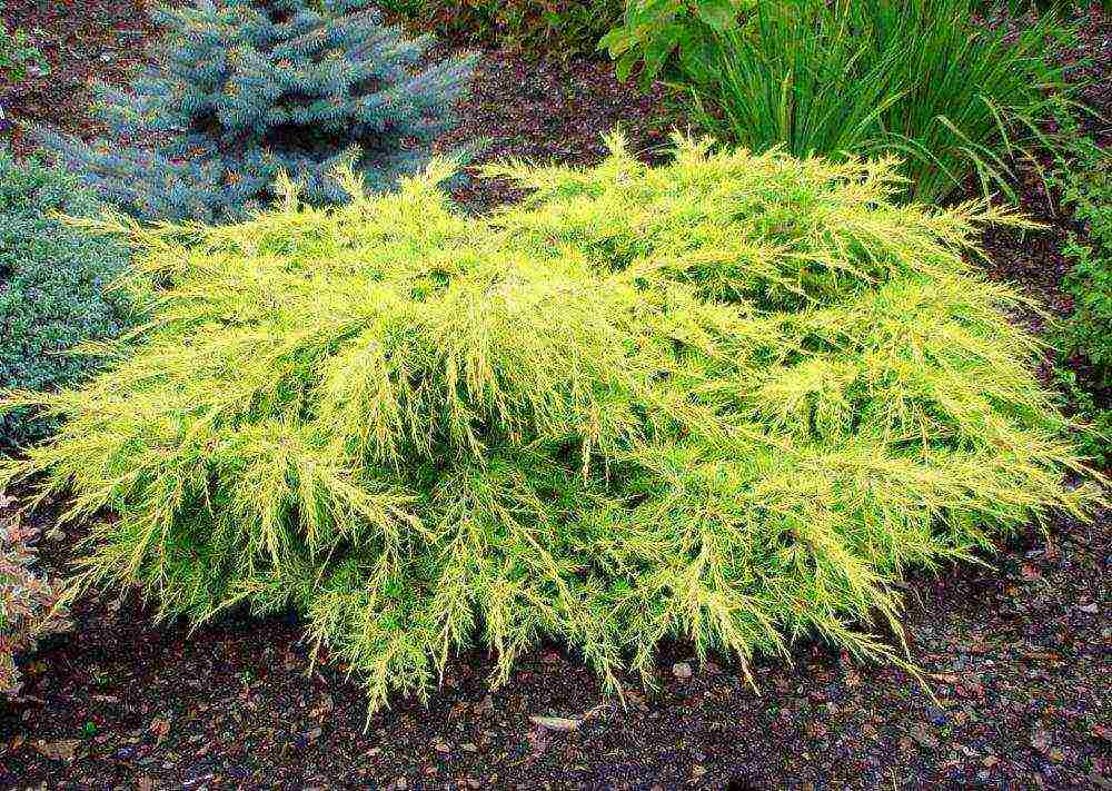 Можжевельник в ландшафтном дизайне сада: виды и сорта
