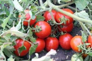 Томат «жонглёр». описание сорта: характеристика урожайности и агротехника посадки, ухода и выращивания помидора (фото)