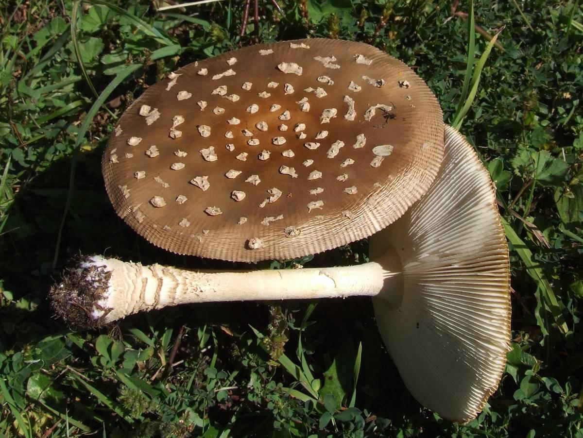 Мухомор пантерный - ядовитые грибы. описание и фото мухомора пантерного.