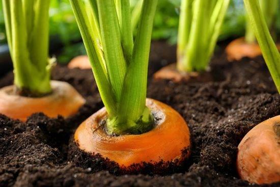 Земля под морковь: как определить тип почвы для правильной подготовки грядки к посадке, какой грунт любит овощ и что сделать, чтобы не совершить ошибок? русский фермер
