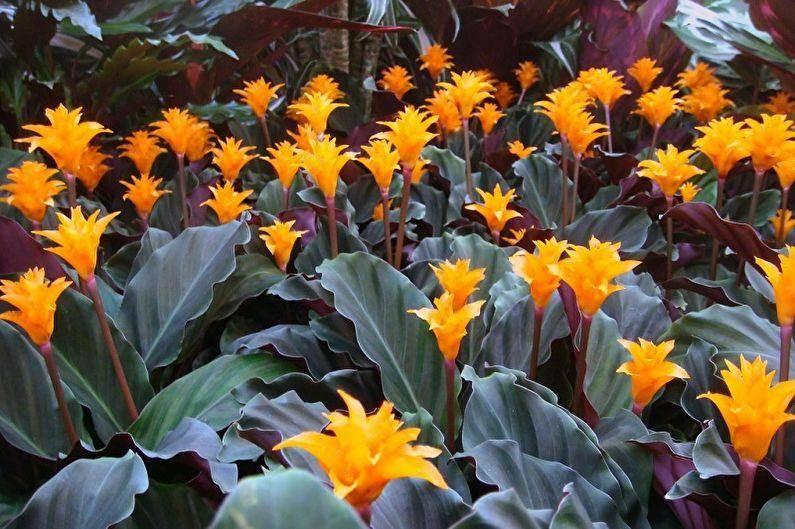 Калатея – уход в домашних условиях: особенности выращивание растения