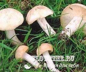 Рядовка майская (майский гриб) – описание и полезные свойства