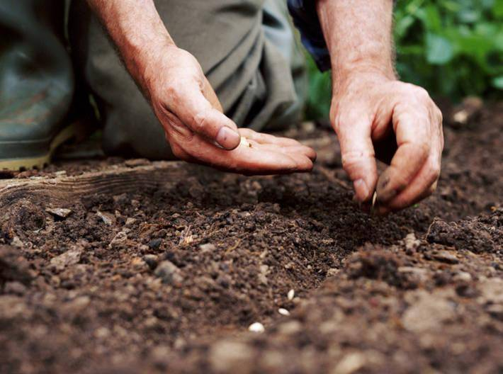 Выращивание базилика из семян на даче: агротехника, размещение в открытый грунт и уход, фото, а также когда правильно сажать весной в подмосковье и сколько растет? русский фермер