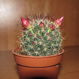 Маммиллярия – любимец среди кактусов!