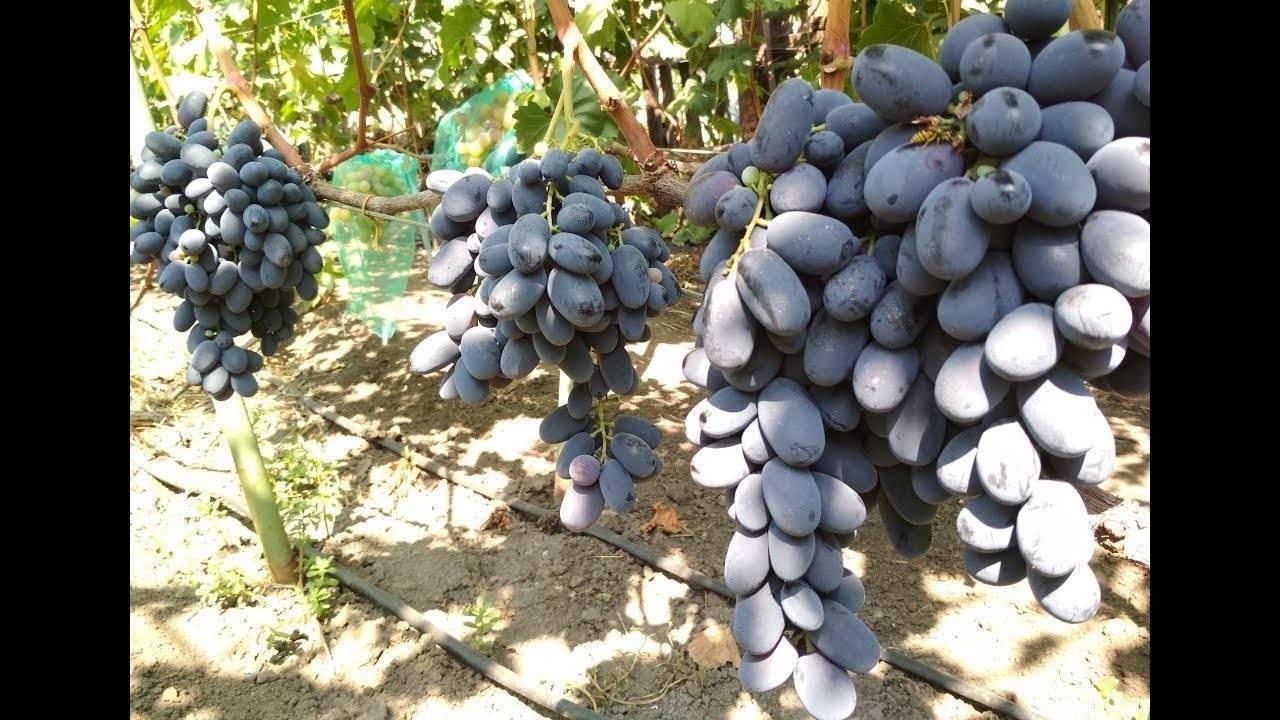 Виноград виктор — настоящий вкус победы. как правильно посадить и выращивать