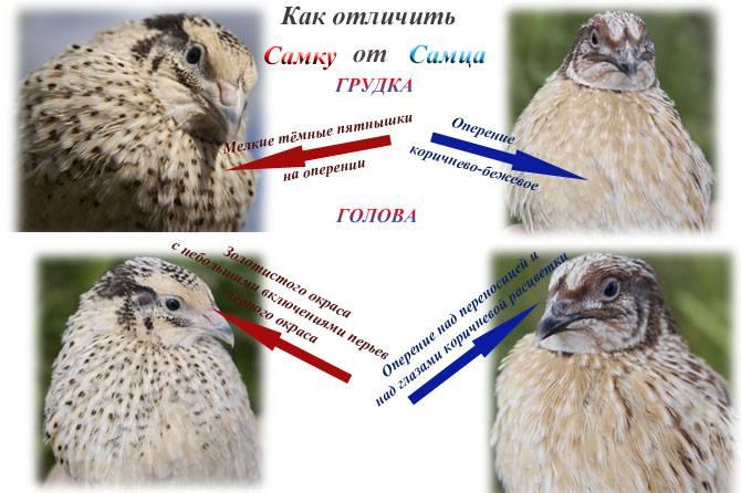 Как определить пол перепелов: как отличить самку от самца — selok.info