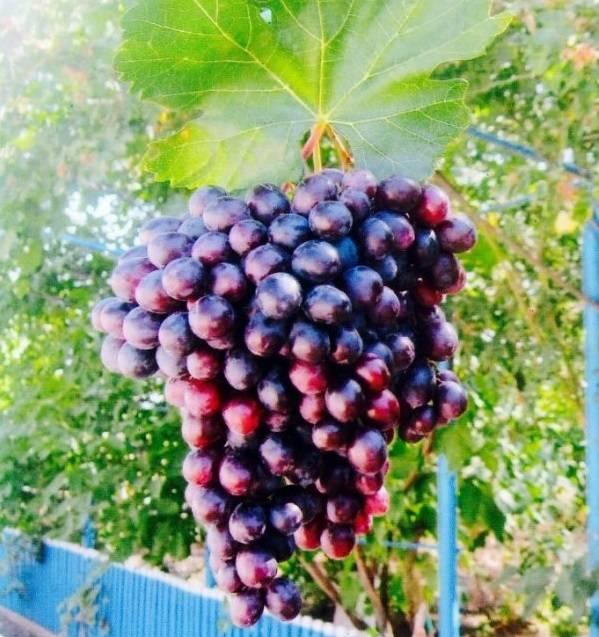 Виноград амурский прорыв, описание сорта с характеристикой и отзывами, особенности посадки и выращивания, фото
