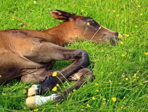 Как спят лошади | «зачем и почему»