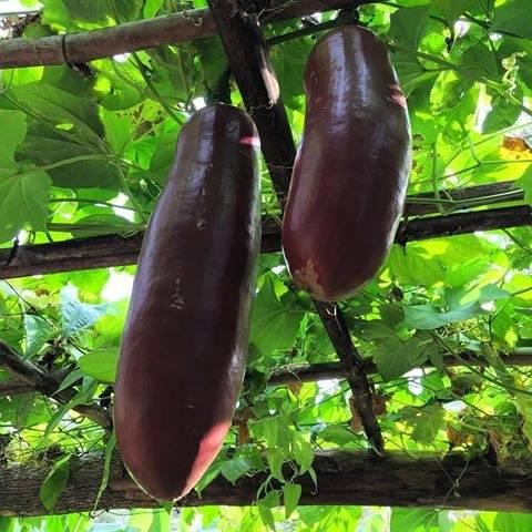 Выращивание камассии из семян и луковиц в открытом грунте, посадка и уход, сочетание с другими растениями