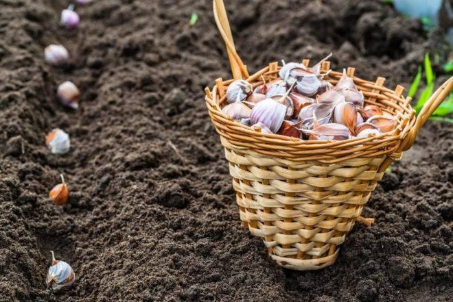Посадка чеснока осенью под зиму: когда и как