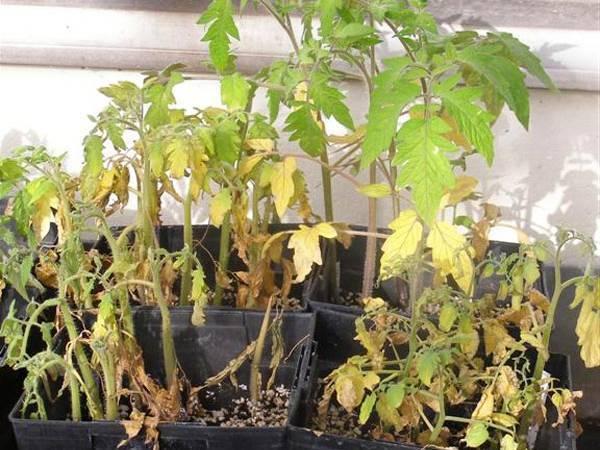 У рассады помидоров желтеют и опадают нижние листья - сохнут, отваливаются, причины, помощь томатам