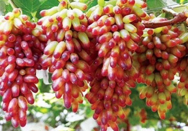 Описание сорта винограда маникюр фингер: фото, отзывы