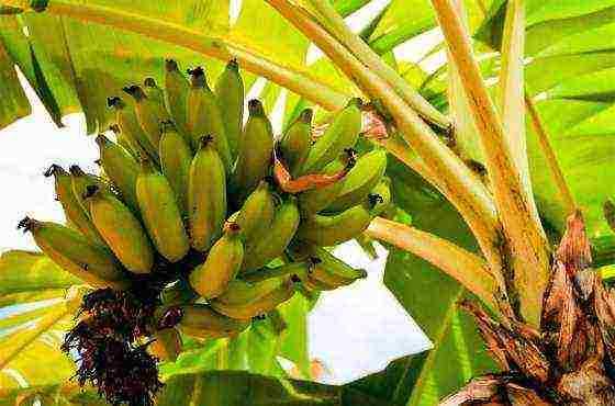 Виды карликового банана: как вырастить мини-копию собрата в домашних условиях? фото selo.guru — интернет портал о сельском хозяйстве