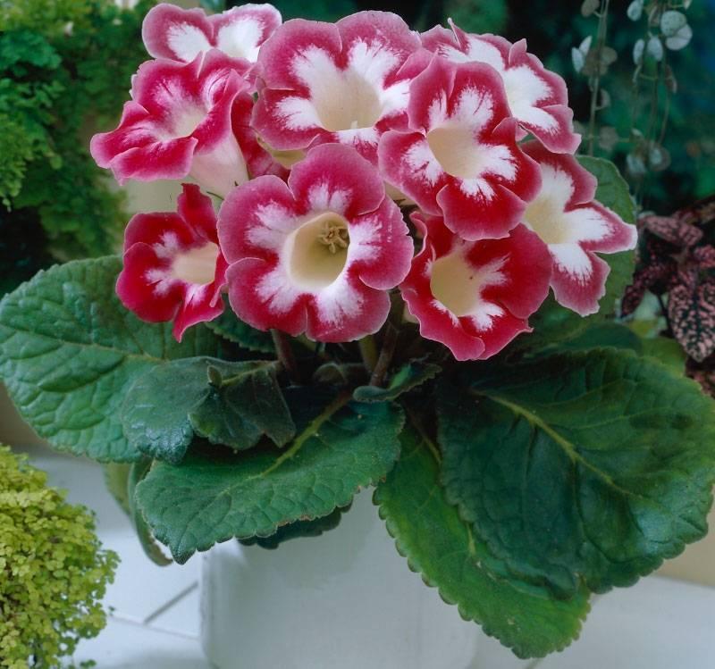 Размножение глоксинии листом и семенами в домашних условиях, пошаговая инструкция с фото и видео