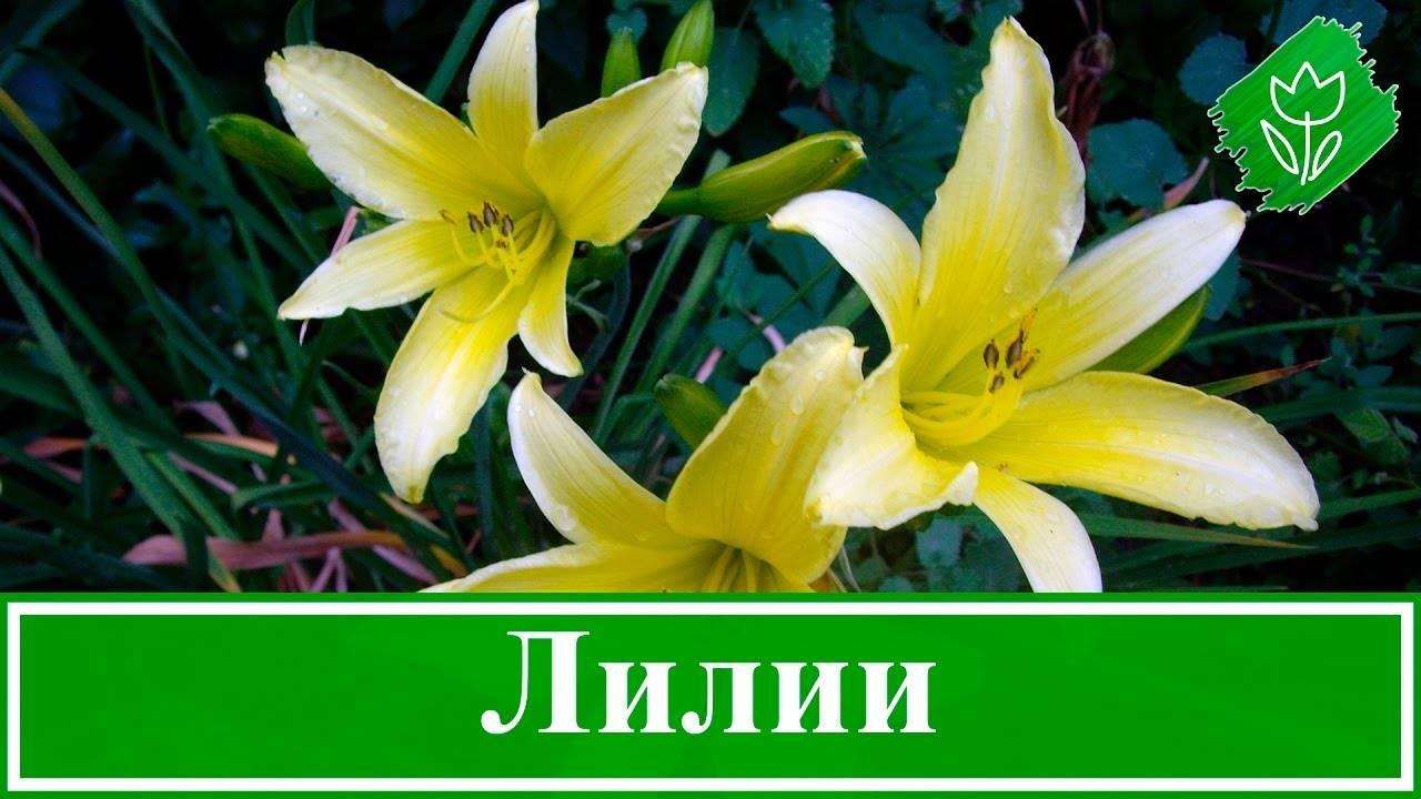 Как вырастить лилии в комнатных условиях: мастер-класс с фото и видео на supersadovnik.ru